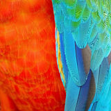 Harlequin Macaw feathers Royalty Free Stock Photo