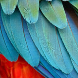 Harlequin Macaw feathers. Colorful feathers, Harlequin Macaw feathers background texture Royalty Free Stock Image