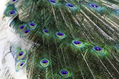 The harlequin peacock feathers. Color of The Indian peafowl or blue peafowl scientific name Pavo cristatus Stock Image