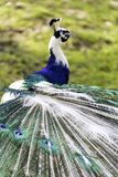 The harlequin peacock feathers. Color of The Indian peafowl or blue peafowl scientific name Pavo cristatus Stock Photography