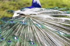 The harlequin peacock feathers. Color of The Indian peafowl or blue peafowl scientific name Pavo cristatus Stock Photos