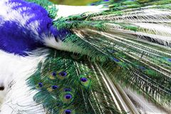 The harlequin peacock feathers. Color of The Indian peafowl or blue peafowl scientific name Pavo cristatus Stock Photo