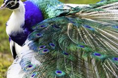 The harlequin peacock feathers stock photography