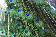 The harlequin peacock feathers. Color of The Indian peafowl or blue peafowl scientific name Pavo cristatus Royalty Free Stock Images