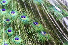 The harlequin peacock feathers. Color of The Indian peafowl or blue peafowl scientific name Pavo cristatus Royalty Free Stock Photo
