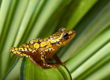 Harlequin poison dart frog Stock Image