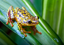 Harlequin poison dart frog. Or Dendrobates histrionicus Stock Photos