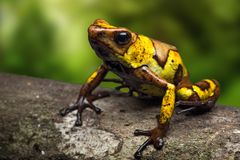 Harlequin poison dart frog, Oophaga histrionica. A small poisonous animal from the jungle of Colombia stock images
