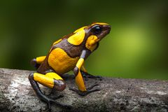 Harlequin poison dart frog, Oophaga histrionica. A small poisonous rain forest animal living in the jungle of Colombia royalty free stock image