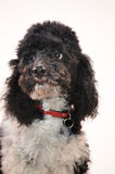 Harlequin poodle Stock Photography