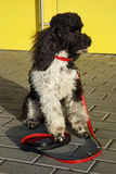 Harlequin poodle Stock Images