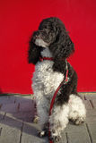 Harlequin poodle. Little harlequin poodle  waiting in front of a supermarket Royalty Free Stock Photo