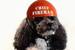 Harlequin poodle, chief of the firemen. Young harlequin poodle with red helmet, chief of the firefighters stock image