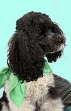 Harlequin poodle Stock Photo