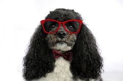 Harlequin poodle with glasses Royalty Free Stock Photography