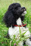Harlequin poodle Royalty Free Stock Photo