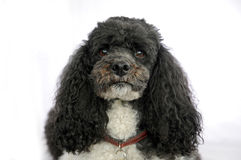 Harlequin poodle. Portrait of a five years old harlequin poodle Royalty Free Stock Images