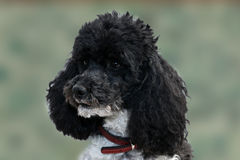 Harlequin poodle Royalty Free Stock Photos