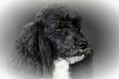 Harlequin poodle. Portrait of a seven years old harlequin toy  poodle Royalty Free Stock Images