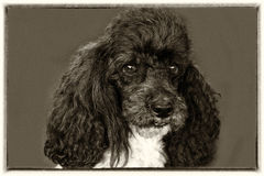 Harlequin poodle. Portrait of a seven years old harlequin toy  poodle Royalty Free Stock Photography