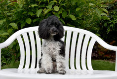 Harlequin poodle. Harlequin toy poodle sitting in the middle of a bench guarding  the garden Royalty Free Stock Photo