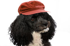 Harlequin poodle on vacation. Portrait of a five years old harlequin poodle with red cap  in front of a white background Stock Images