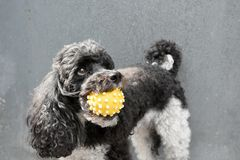 Dog and his squeaky toy. Harlequin poodle with yellow squeaky  dog toy in his mouth Royalty Free Stock Photos