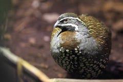 Harlequin quail Stock Image