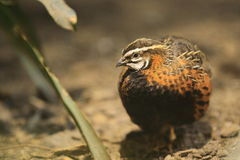 Harlequin quail Royalty Free Stock Images