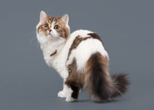 Harlequin scottish highland kitten with white on gray ba Royalty Free Stock Photography