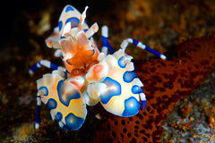 Harlequin shrimp. Feeding on a sea star at the Philippines Stock Photo