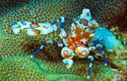 Harlequin shrimp Stock Images