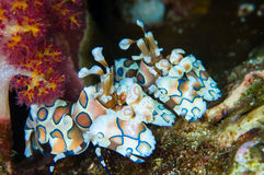Harlequin shrimp Royalty Free Stock Image