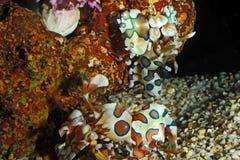 Harlequin shrimp Stock Photo