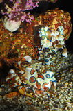 Harlequin shrimp Stock Photography