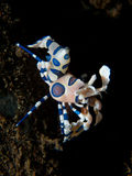 Harlequin Shrimp on black sand background Stock Photo