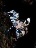 Harlequin Shrimp on black sand background Stock Photo