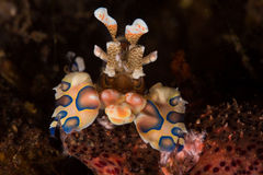 Harlequin shrimp. Close up of an Harlequin shrimp eating a seastar Stock Photos