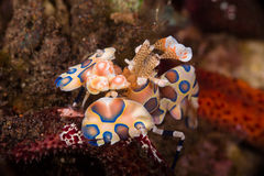 Harlequin shrimp Royalty Free Stock Images