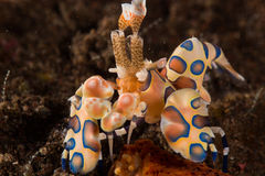 Harlequin shrimp Stock Image