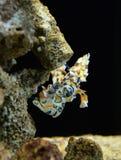 Harlequin shrimp Stock Photos