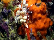 Harlequin shrimp eating sea star in Raja Ampat Indonesia. stock video
