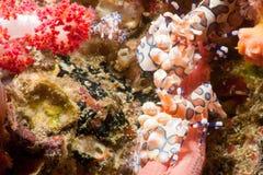 Harlequin Shrimp (Hymenocera picta), royalty free stock images