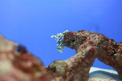 Harlequin shrimp Royalty Free Stock Images