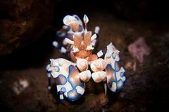 Harlequin Shrimp - Hymenocera picta Royalty Free Stock Photo