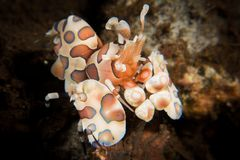 Harlequin Shrimp - Hymenocera picta Stock Photos
