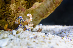 Harlequin shrimp or Hymenocera picta Royalty Free Stock Photo