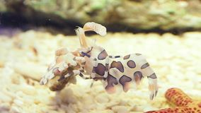 Harlequin shrimp Hymenocera picta is a species of saltwater shrimp found at coral reefs in the tropical Indian Pacific ocean. Harlequin shrimp Hymenocera picta stock video