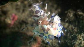 Harlequin Shrimp-1080P banque de vidéos
