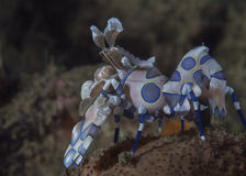 Harlequin shrimp standing over starfish Stock Images